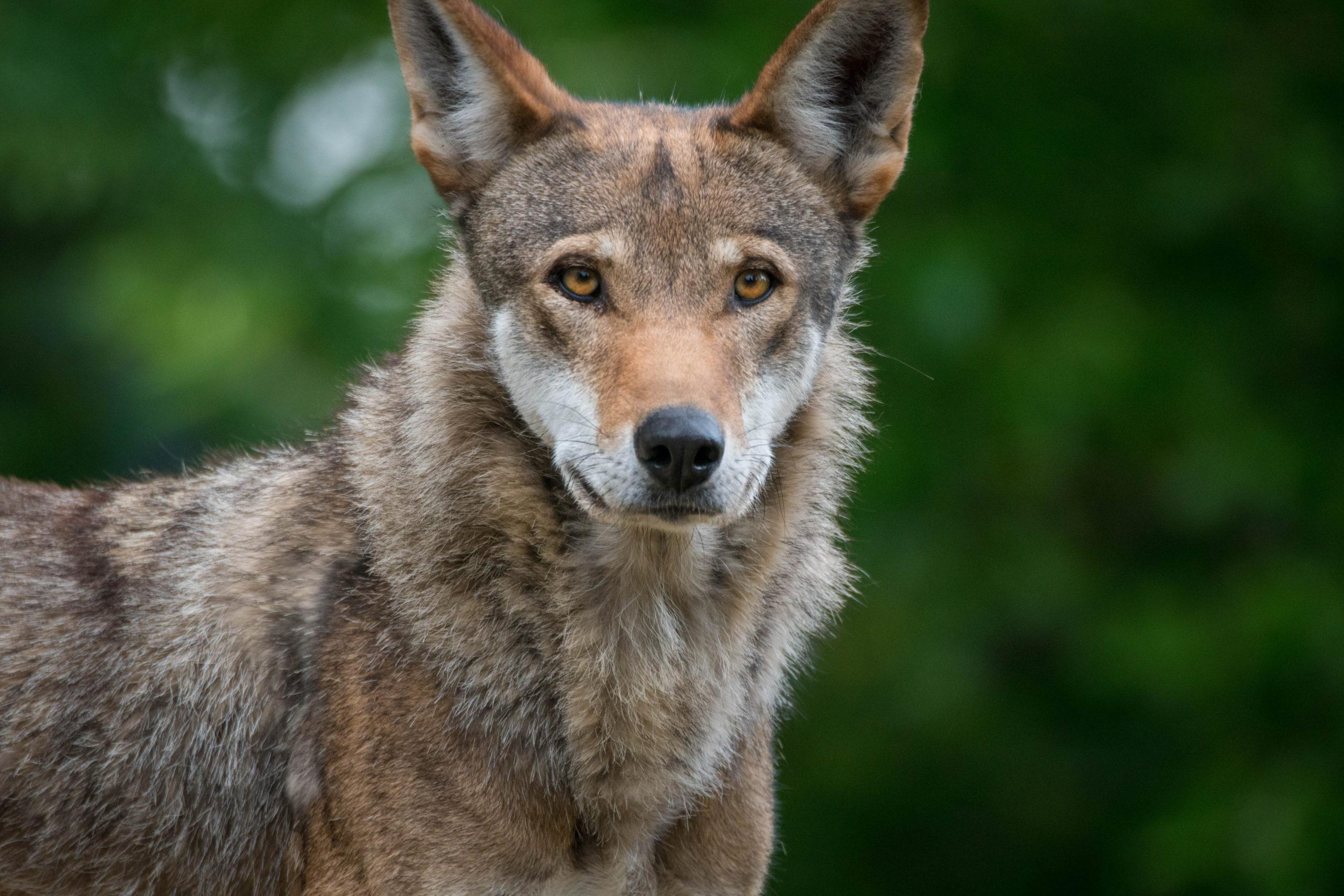 Wolf 10 (2)