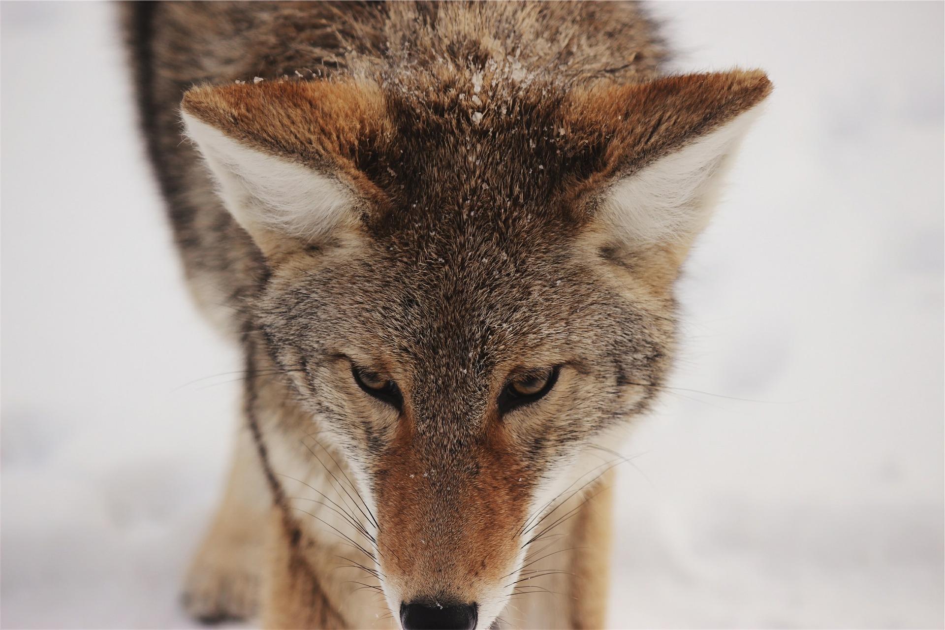 coyote-593160_1920